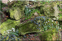 TQ3499 : Snowdrops on Rockery, Myddelton House, Enfield, Middlesex by Christine Matthews