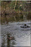 TQ3499 : Snowdrops, Myddelton House, Enfield, Middlesex by Christine Matthews