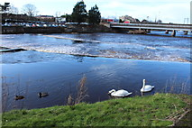 NS3421 : Ducks & Swans on the River Ayr by Billy McCrorie