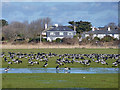 SZ7798 : Brent Geese, West Wittering by Robin Webster