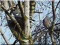 TF0820 : Flying rats (Columba palumbus) by Bob Harvey