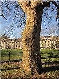 SX9164 : Plane tree, Upton Park by Derek Harper