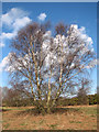 TG0742 : Birches on Salthouse Heath by Evelyn Simak