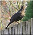 SE7872 : Female blackbird by Pauline E