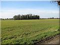 TM1096 : Copse in field west of Guiler's Lane by Evelyn Simak
