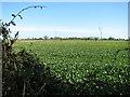 TM1095 : Oilseed rape crop by Maytree Farm by Evelyn Simak