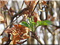 TL1406 : Beech leaves sprouting by Stephen Craven