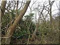 TL9543 : Laurel bush in Langley Wood, Round Maple by Hamish Griffin