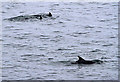 NJ1069 : Dolphins at Burgh Head by Walter Baxter