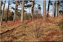NJ3165 : A Red Bush by Anne Burgess