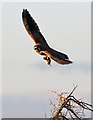 NJ2170 : A kestrel with prey by Walter Baxter