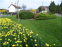 TQ1665 : Daffodils at Hinchley Wood by Marathon