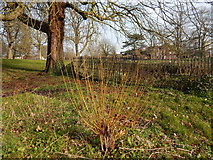 TM1645 : Willow tree in Christchurch Park by Hamish Griffin