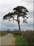 SE7466 : Lone pine on the Centenary Way footpath by Pauline E