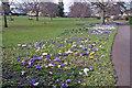 SX8671 : Courtenay Park crocuses by Richard Dorrell