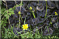 SK9205 : Ranunculus ficaria 'Brazen Hussy' by Alice Batt