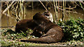 TQ3643 : Otter Playtime by Peter Trimming
