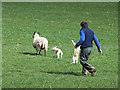 NZ0929 : Sorting out the lambs by Oliver Dixon