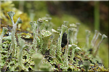 SJ3999 : Lichen, Melling by Mike Pennington