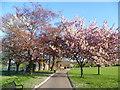 TQ4374 : Blossom in Eltham Park South by Marathon