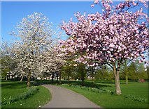 TQ4375 : Blossom time in Eltham Park South by Marathon