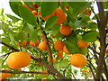 SP5206 : Oranges in the Botanic Garden, Oxford by pam fray