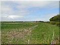 TG1338 : Daffodil fields at Bodham by Adrian S Pye
