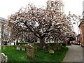 TM4290 : Cherry Tree near St.Michael's Church by Adrian Cable