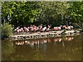 SD4314 : Chilean Flamingos, Martin Mere Wetland Centre by David Dixon