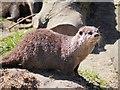 SD4214 : Asian Otter at Martin Mere by David Dixon