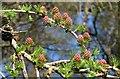 SE2462 : Larch roses near Mill Dam by Derek Harper