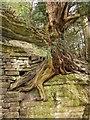 SE2868 : Yew on wall, Studley Royal by Derek Harper