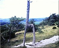 SD4577 : Knotted tree at Arnside Knott in 1981 by Clint Mann