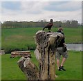 TQ8352 : Hawk at Falconry display at Leeds Castle by Paul Gillett