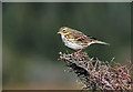 NT4129 : A meadow pipit (Anthus pratensis) on Newark Hill by Walter Baxter