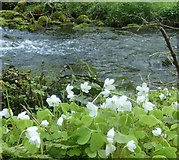SK1273 : Wood sorrel and stream by Andrew Hill