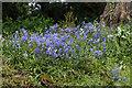 TQ3499 : Bluebells, Myddelton House, Enfield by Christine Matthews