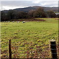 ST2689 : Grazing sheep near Pontymason Lane by Jaggery