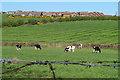 J5382 : Cattle near Groomsport by Rossographer