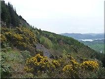 NY2427 : Gorse-covered hillside, Dodd Wood by Christine Johnstone