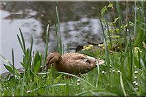 TQ3296 : Hybrid Duck, New River Loop, Enfield by Christine Matthews