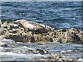 NU2235 : Grey Seal on Big Scarcar by N Chadwick