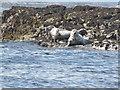 NU2236 : Grey Seals, Little Scarcar by N Chadwick