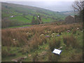 SD7486 : Cleared plantation at Little Town, Dentdale by Karl and Ali