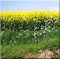 TG3726 : Cow parsley and flowering oilseed rape by Evelyn Simak