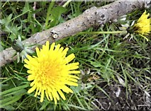 SJ9594 : Swains Valley Dandelions (close-up) by Gerald England