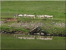 SE0063 : Sheep and reflections, by Linton Falls by sylvia duckworth