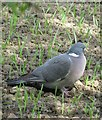 SE3529 : Common Wood Pigeon - Columba palumbus by Mike Kirby