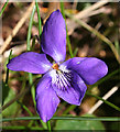 NM4787 : Common Dog Violet (Viola riviniana) by Anne Burgess