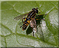 TQ2890 : Hoverfly,  Muswell Hill, London N10 by Christine Matthews
